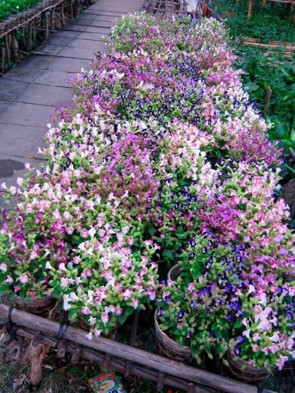 Hoa Pensee trồng tại làng hoa Sa Đéc