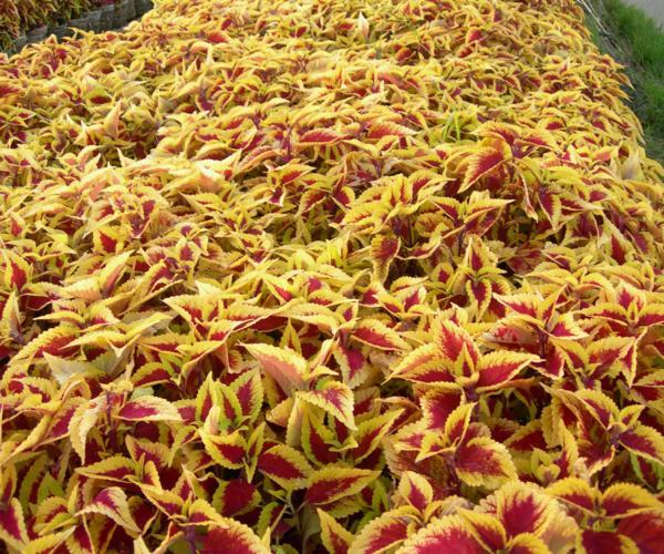 Thảm màu Gấm vàng